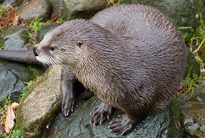 Lewis, North American River Otter