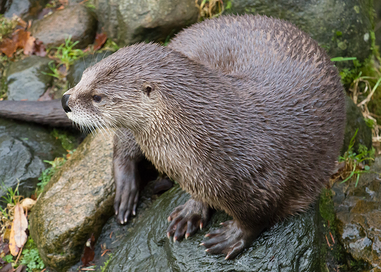 Lewis, North American Otter