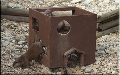 Otters in their playhouse