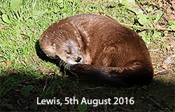 Lewis, North American Otter, 2016