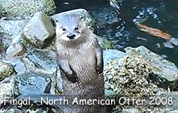 Fingal, a North American Otter, in 2008