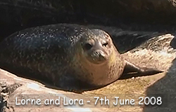 Lorne and Lora, Resident Common Seals, - 7th June 2008