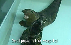 Seal pups in the hospital´s weaning pool