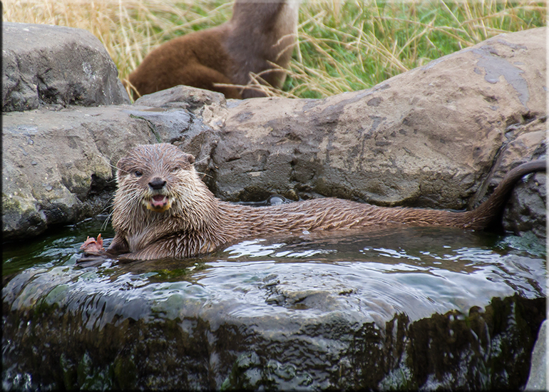 Resident Otters - September 2016