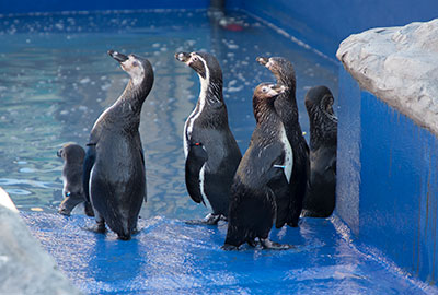 Official Opening Of New Penguin Enclosure