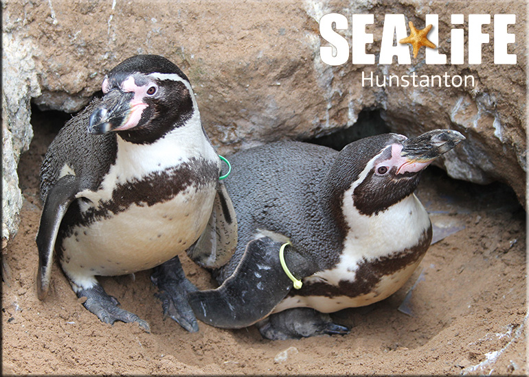 First ever baby penguin born at Hunstanton Sea Life on 3rd May 2017