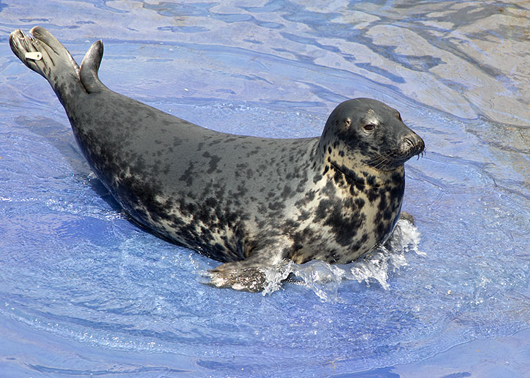 The very beautiful grey seal Aayla