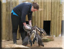 Jo feeding the penguins their favourite afternoon meal of sand eels