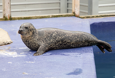 Lora, Resident Common Seal