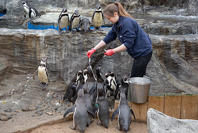 Gemma feeding the Humboldt Penguins