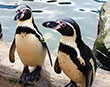 Penguin love story to rival Monty's