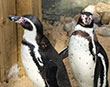 New Penguin Couple Settle in at the Sanctuary
