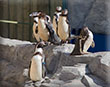 PENGUINS ARRIVED AT NEW HOME