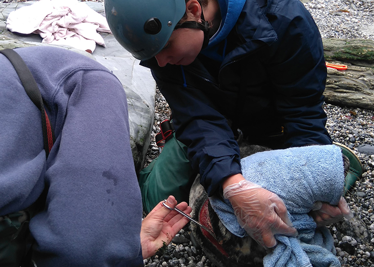 4 Cleaning the wound  - Photo by Sue Sayer - Cornwall Seal Group Research Trust