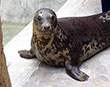 AMPUTEE SEAL 'AAYLA' GIVEN HOME AT SANCTUARY