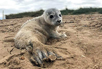 Prince, first rescued common seal pup of 2019 season