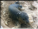 Daredevil - Rescued common seal pup - 22nd June 2013