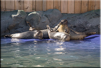 Rescued pups in the outdoor seal pool