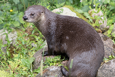Lewis - North American river otter