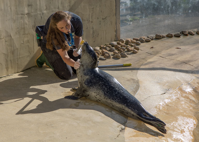 Natalie doing enrichment training with resident common seal Bo