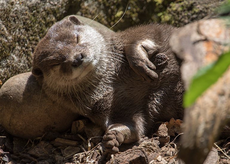 Harris, Asian Short-Clawed Otter