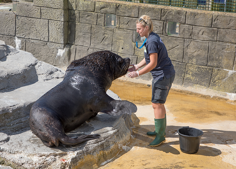 Grace is feeding Diego - Patagonian Sea Lion