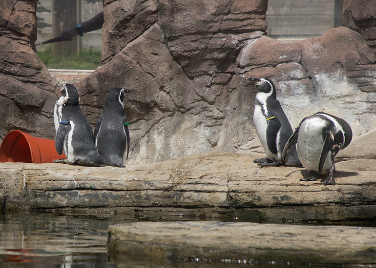 Humboldt Penguins - l-r - Lola, Gilbert, Godfrey and Pine