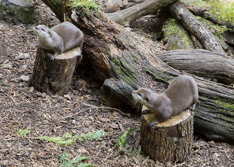 Asian Short-Clawed Otter - Harris (left) and Apricot (right)