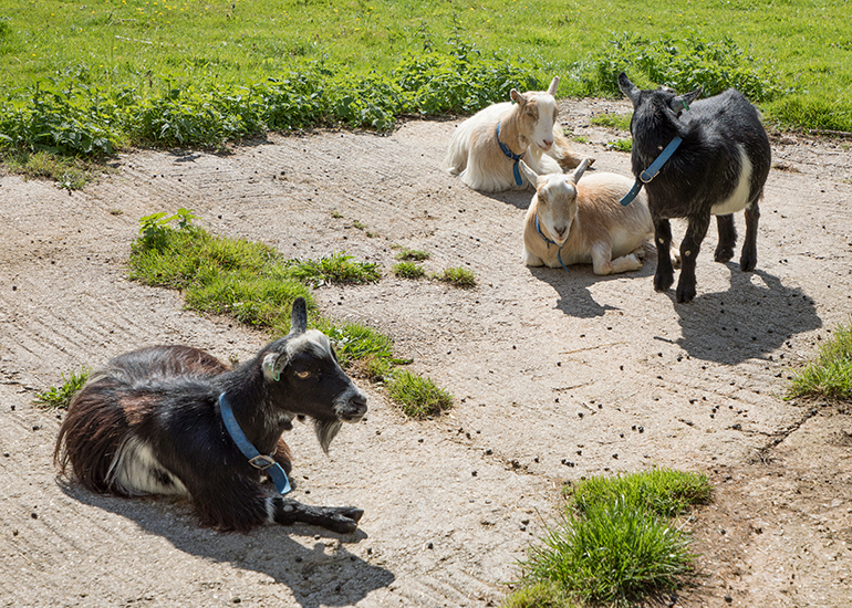 Pygmy Goats - Dennis, Marvin, Bertie and Arnie first summer at the Seal Sanctuary