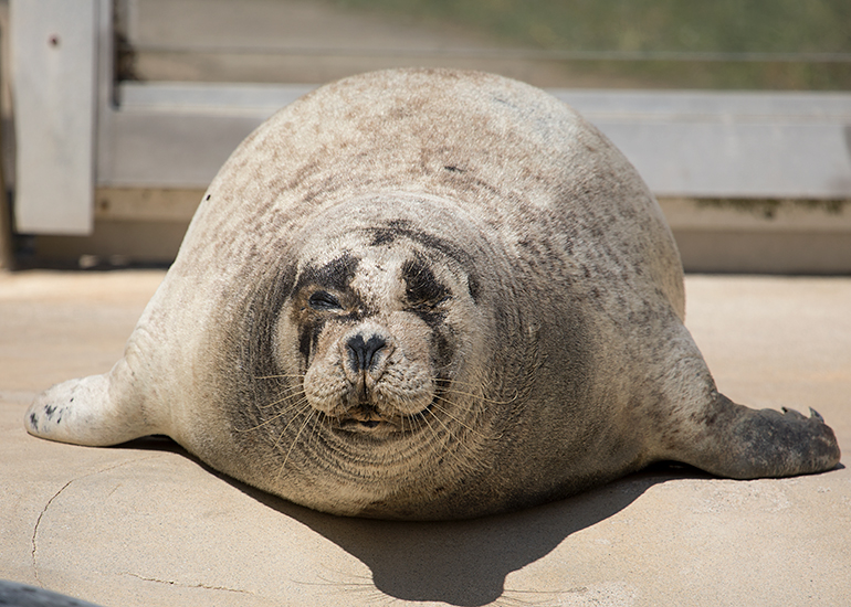 Babyface is probably the oldest common seal in captivity!