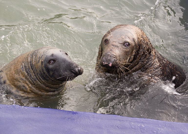 Flipper and Yulelogs, Resident Grey Seals