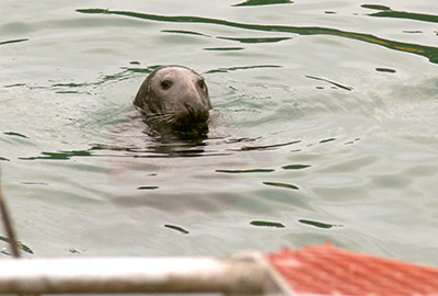 Seal in the harbour at Newquay