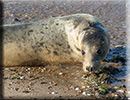Seal Release - 19th September 2015