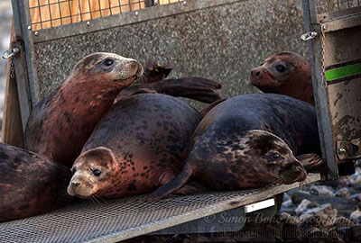 Seal Release - 26th January 2015