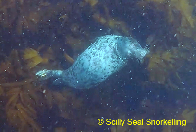 (C) Anna of the Scilly Seal Snorkelling