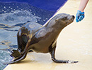 Sunny, Sea Lion - photo taken on 28th May 2014