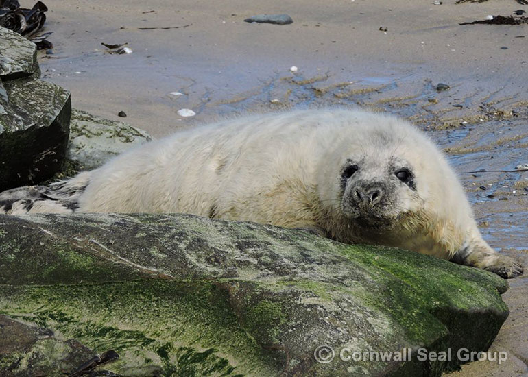 Superman photo by Sue Sayer of the Cornwall Seal Group