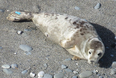 Uno - Photo by Sue Sayer of the Cornwall Seal Group Research Trust