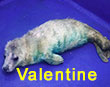 Valentine, a rescued grey seal pup from the 2017/18 season