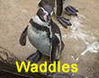 Waddles - Orange Tag - Penguin