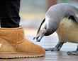 These Boots Were Made for Pecking!