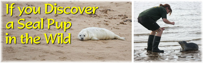 [The Scarborough SEA LIFE Sanctuary - If You Discover a Seal Pup in the Wild!]