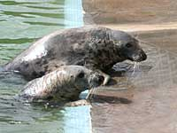 our resident grey seals