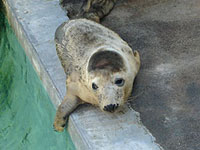Photo of April, a rescued seal pup from the 2007/8 season, was taken by India Clifton