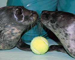 Jamie and Jelena, common seal pups