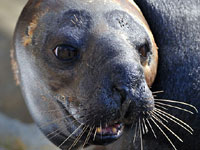 This photo of Sahara was taken by Graham Karslake (G and R Photography) during his visit to the National Seal Sanctuary on 1st November 2008