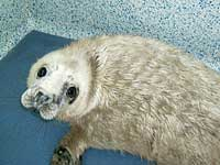 Kitto, the second seal pup of the season for 2007/8 - Photo was taken by Rachael Vine