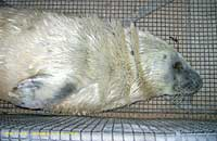 Koko in the transport cage sleepy on arrival here at the sanctuary - photo was taken on 9th October 2006 by Rachael Vine