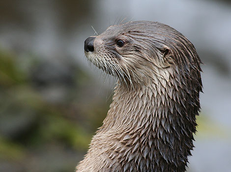 One of our resident otters