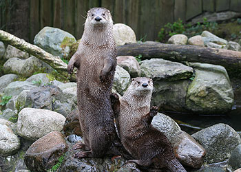 Lewis and Isla, our new resident otters